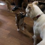 先住犬のリビング突撃2