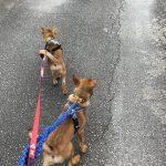 ダイとサンジはお散歩大好き